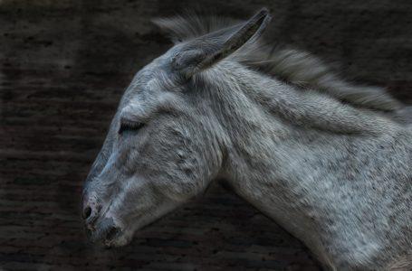 Un âne et des chevaux à Colmar
